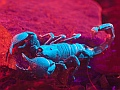 Emperor scorpion, Edinburgh Butterfly & Insect World