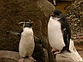 Rockhopper penguins, Edinburgh Zoo