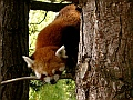 Red panda, Edinburgh Zoo