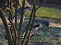 Ring-tailed lemurs, Edinburgh Zoo
