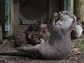 Oriental small-clawed otter, Edinburgh Zoo