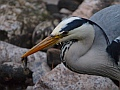 Grey heron, Water of Leith