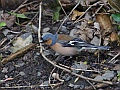 Chaffinch, Water of Leith