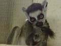 Ring-tailed lemur, Edinburgh Zoo