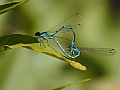 Mating damselflies, Bern