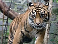 Sumatran tiger, Edinburgh Zoo