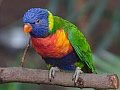 Rainbow lorikeet, Edinburgh Zoo